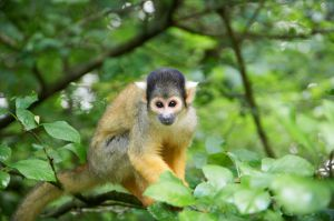 Squirrel monkey - Mókusmajom